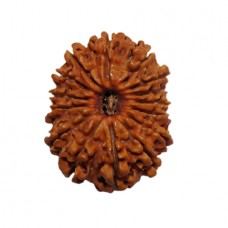 Thirteen mukhi Attraction Rudraksha From Nepal