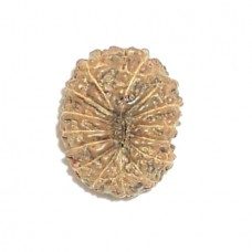 Fourteen Mukhi Shani Rudraksha From Java