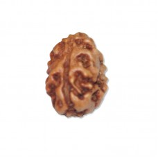 Three Mukhi Agni Rudraksha From Java