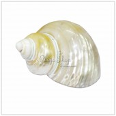 Pearl Shankh - Small