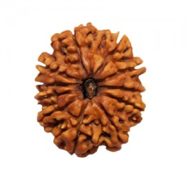 Ten Mukhi Vishnu Rudraksha From Nepal