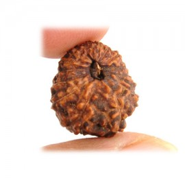 Ten Mukhi Vishnu Rudraksha From Java