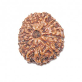 Thirteen mukhi Attraction Rudraksha From Java