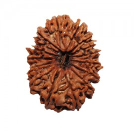 Fourteen Mukhi Shani Rudraksha From Nepal