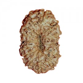 Fifteen Mukhi Pashupatinath Rudraksha From Java