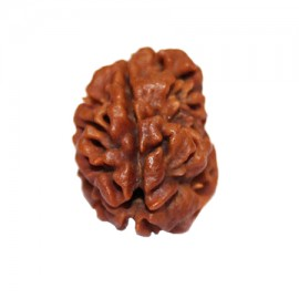Two Mukhi Moon Rudraksha From Nepal