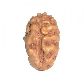 Two Mukhi Moon Rudraksha From Java