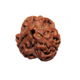 Three Mukhi Agni Rudraksha From Nepal