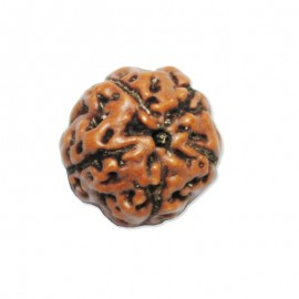 Five Mukhi Shiva Rudraksha From Java