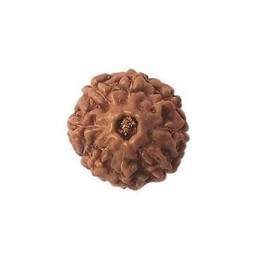 Six Mukhi Kartikeya Rudraksha From Java