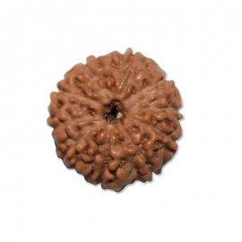Eight mukhi Ganesha Rudraksha From Java
